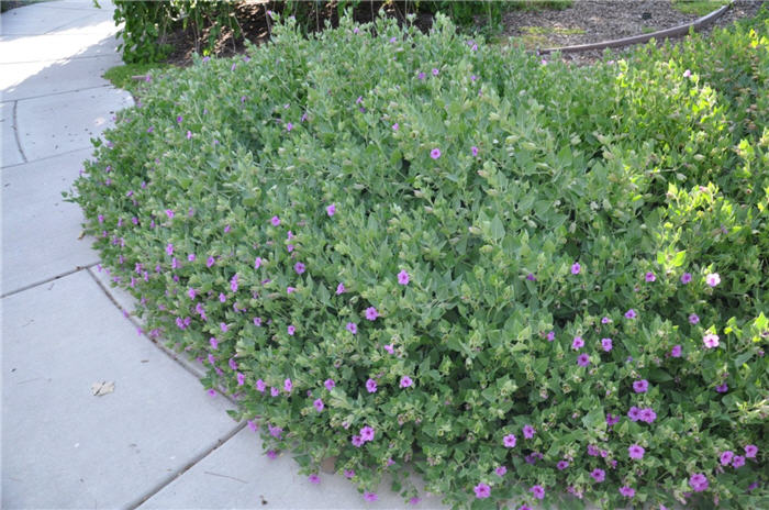 Plant photo of: Mirabilis multiflora