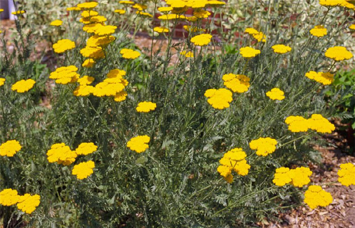 Plant photo of: Achillea filipendulina 'Cloth of Gold'