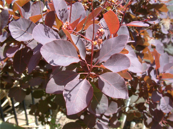 Plant photo of: Cotinus coggygria 'Purpureus'