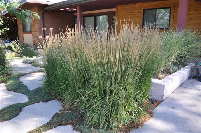 Plant photo of: Calamagrostis acutiflora 'Karl Foerster'