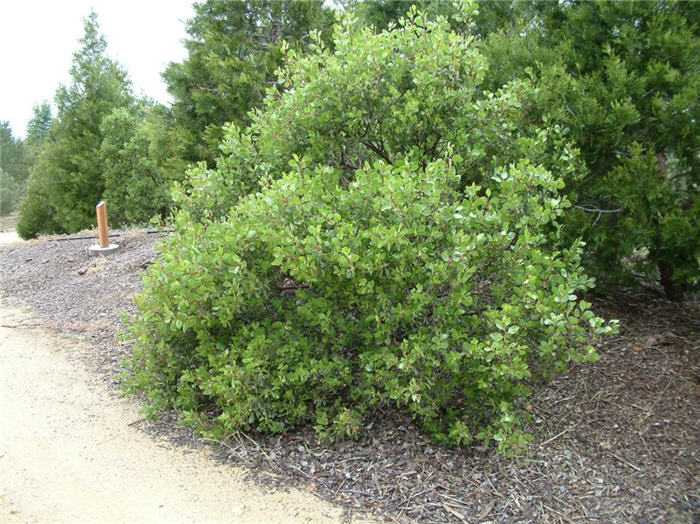Plant photo of: Arctostaphylos patula