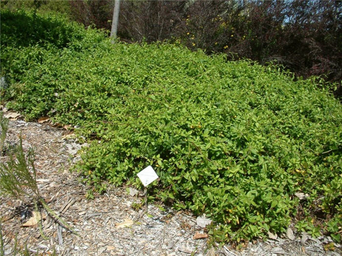 Plant photo of: Lonicera japonica