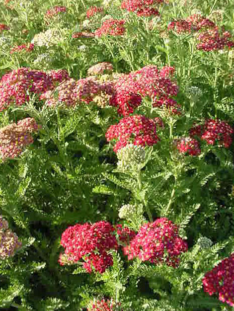 Plant photo of: Achillea millefolium 'Paprika'