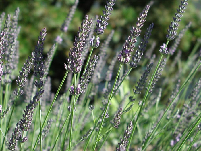 Plant photo of: Lavandula angustifolia