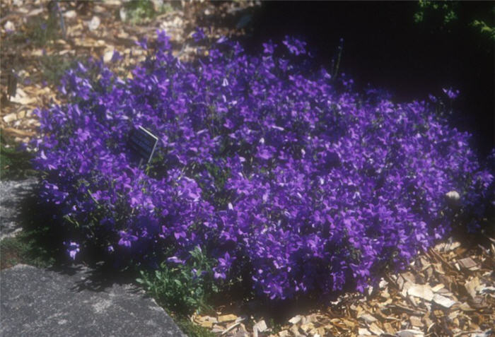 Plant photo of: Campanula portenschlagiana