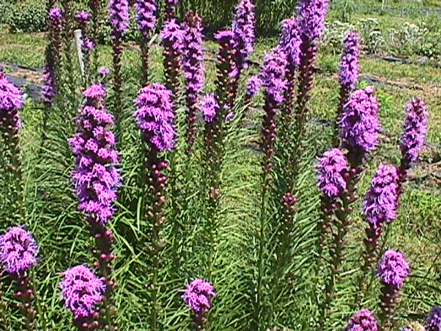 Plant photo of: Liatris spicata 'Kobold'