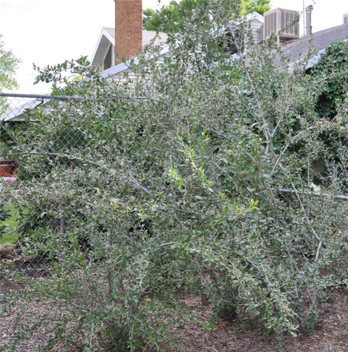 Plant photo of: Cercocarpus montanus