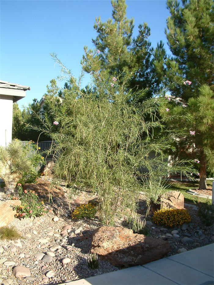 Plant photo of: Chilopsis linearis