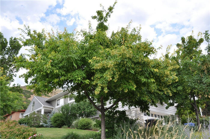 Plant photo of: Acer ginnala