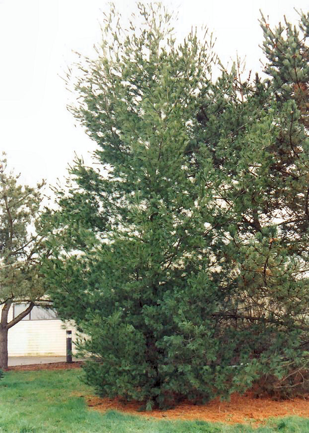 Plant photo of: Pinus strobus