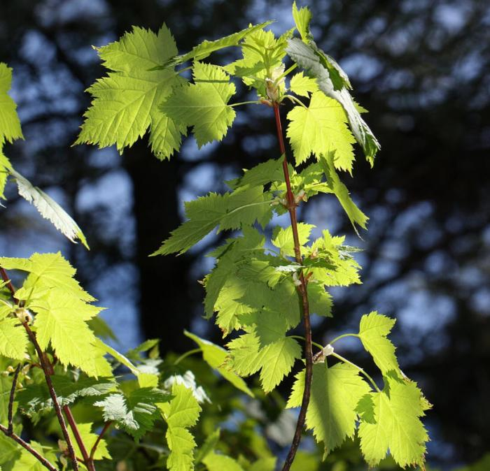 Plant photo of: Acer glabrum