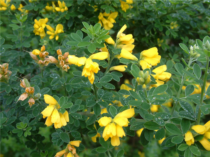 Plant photo of: Cytisus x praecox 'Allgold'