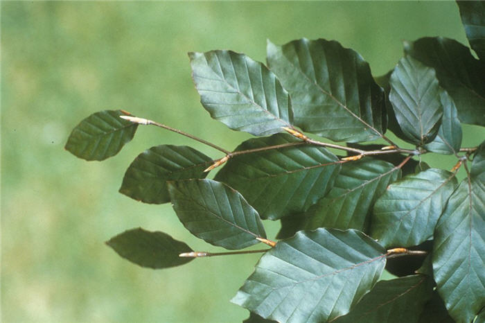 Plant photo of: Fagus sylvatica