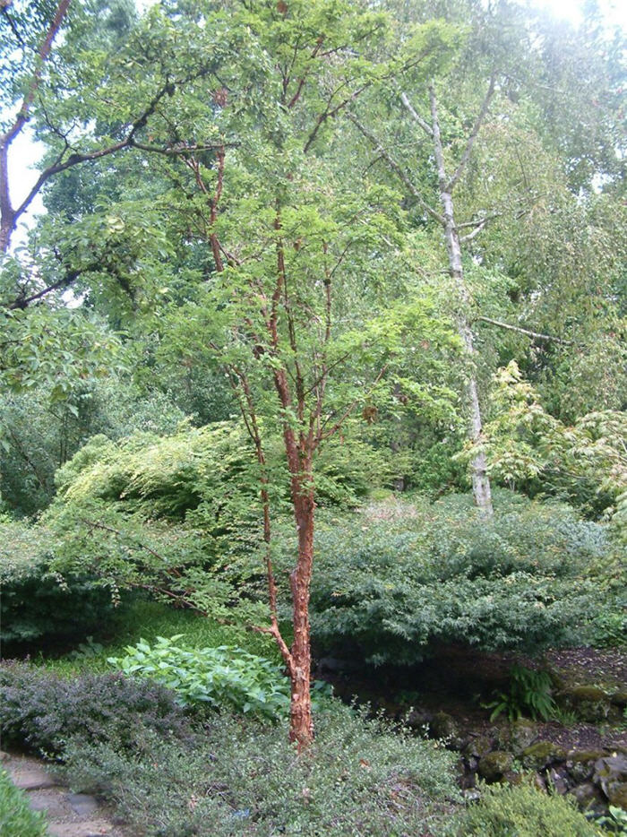 Plant photo of: Acer griseum