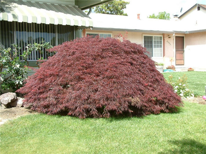 Plant photo of: Acer palmatum 'Crimson Queen'