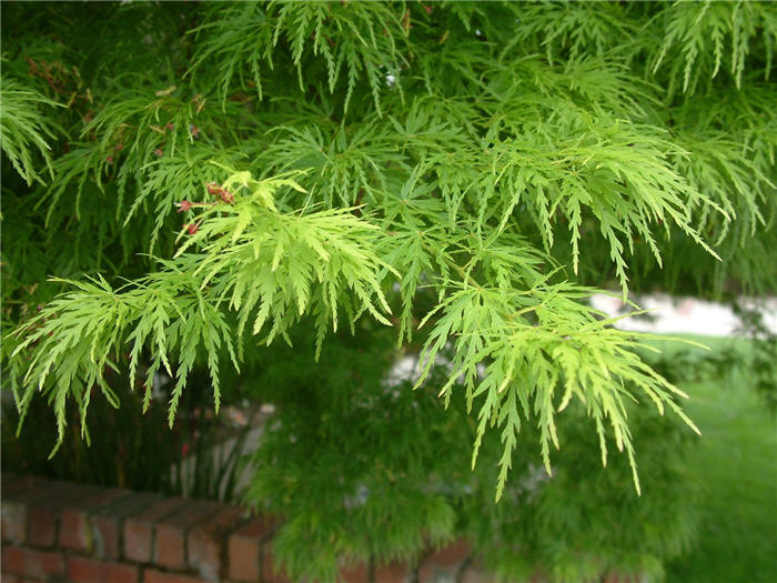 Plant photo of: Acer palmatum 'Dissectum'