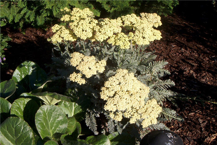 Plant photo of: Achillea 'Anthea'