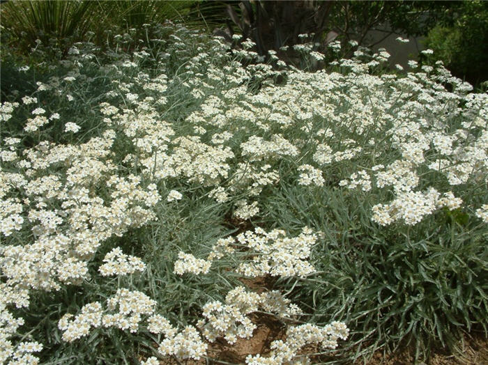 Plant photo of: Achillea x kellereri
