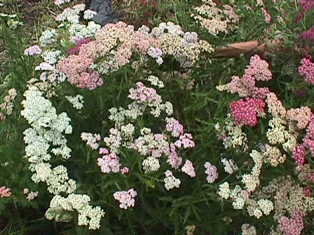 Plant photo of: Achillea millefolium 'Summer Pastels'