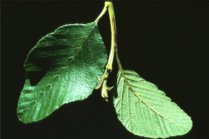 Plant photo of: Alnus glutinosa