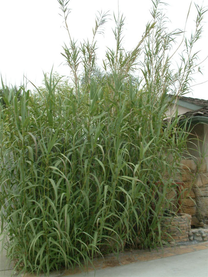 Plant photo of: Arundo donax