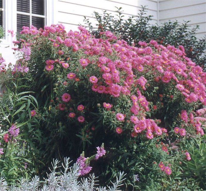 Plant photo of: Aster novi-belgii 'Alma Potschke'
