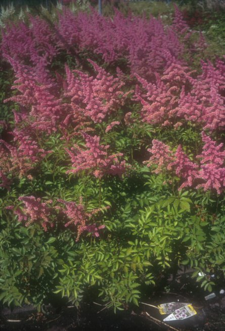 Plant photo of: Astilbe x arendsii 'Rhineland'
