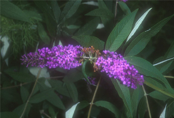 Plant photo of: Buddleja davidii 'African Queen'