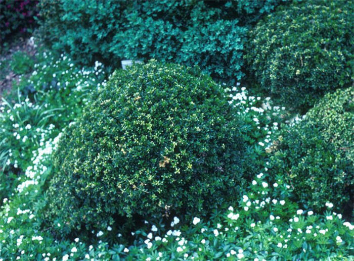 Plant photo of: Buxus microphylla 'Compacta'
