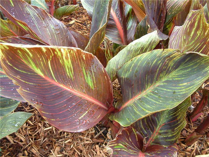 Plant photo of: Canna