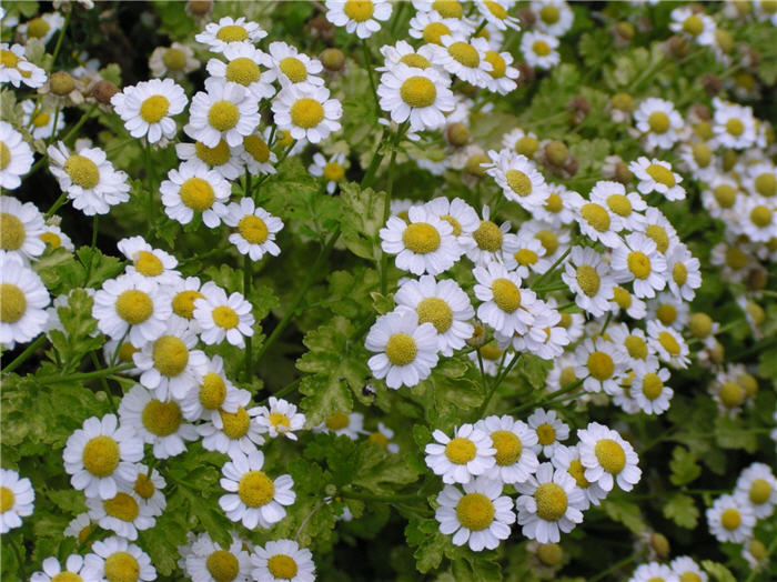 Plant photo of: Tanacetum parthenium