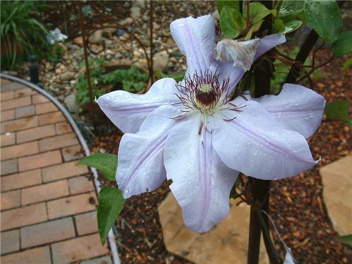 Plant photo of: Clematis hybrids
