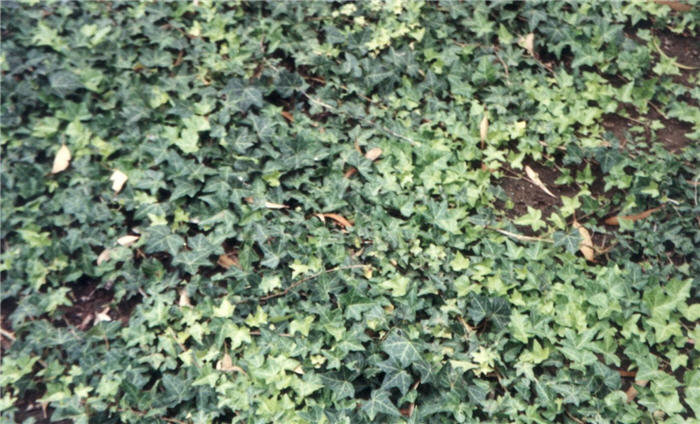 Plant photo of: Hedera helix cultivars