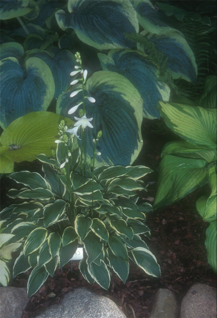 Plant photo of: Hosta 'Carrie Ann'