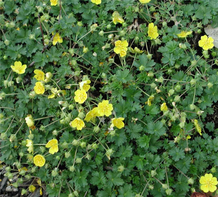 Plant photo of: Potentilla neumanniana 'Nana'