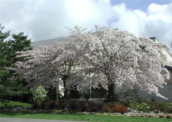 Plant photo of: Prunus x yedoensis 'Akebono'