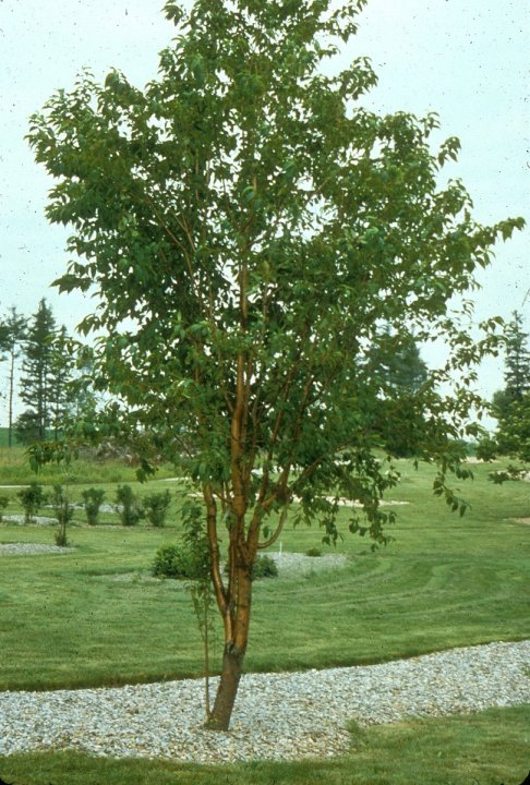 Plant photo of: Prunus maackii