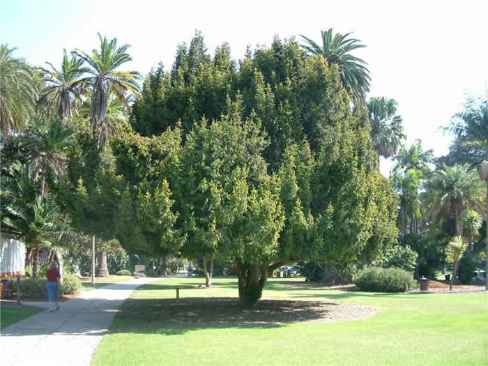 Plant photo of: Taxus baccata