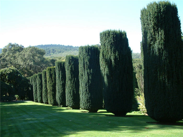 Plant photo of: Taxus baccata 'Stricta'