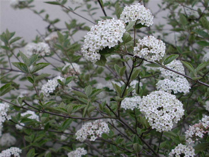 Plant photo of: Viburnum carlesii