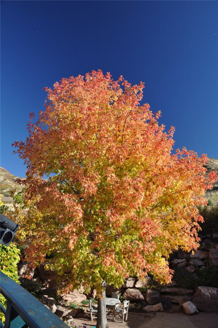 Plant photo of: Acer ginnala 'Flame'