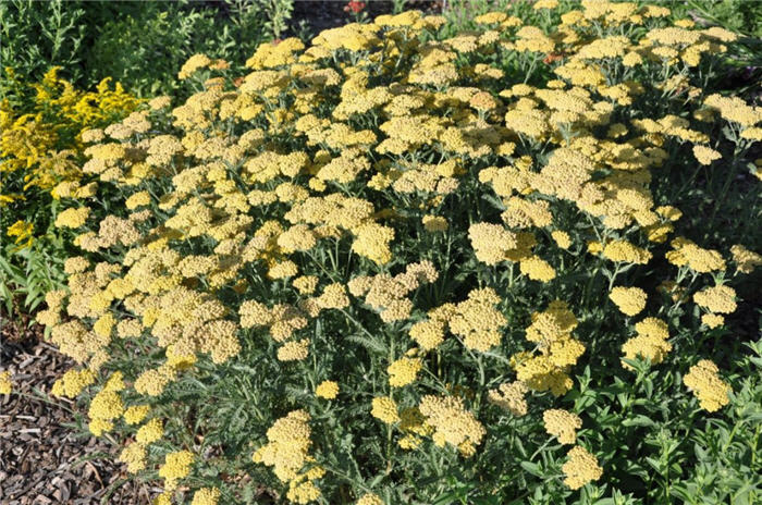 Plant photo of: Achillea 'Feuerland'