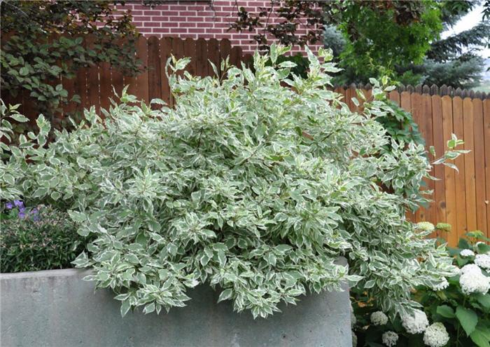 Plant Photo Of Cornus Alba Bailhalo