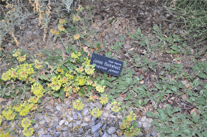 Plant photo of: Eriogonum jamesii