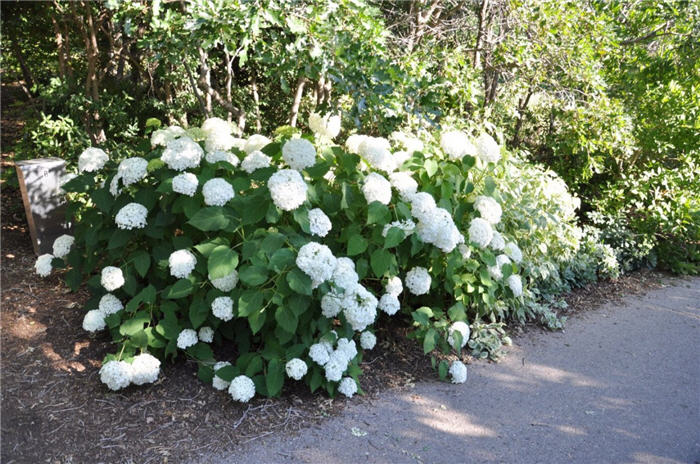 Plant photo of: Hydrangea arborescens 'Annabelle'
