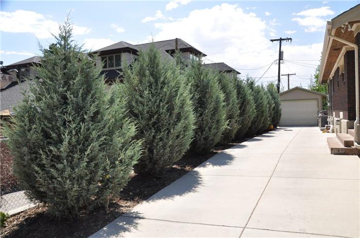 Plant Photo Of Juniperus Scopulorum Wichita Blue