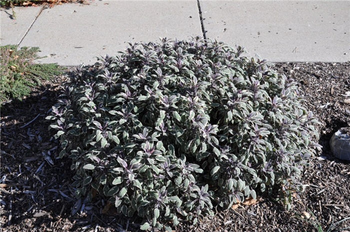 Plant photo of: Origanum rotundifolium 'Kent Beauty'