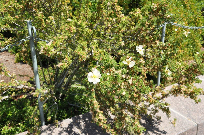 Plant photo of: Potentilla fruticosa 'Abbotswood'