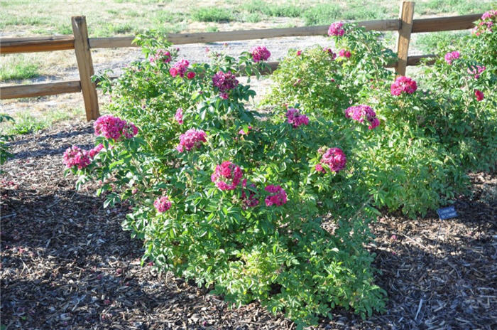 Plant photo of: Rosa rugosa 'F.J. Grootendorst'