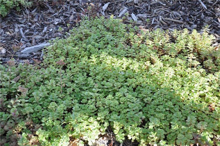 Plant photo of: Sedum acre